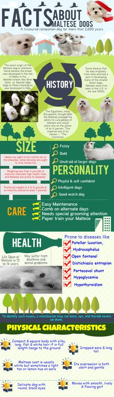 Take a look at this info-graphics to know the details about Maltese Dogs. Everything about this Dog breed you will get to know including size, personality and average life span. The Physical characteristics of Maltese dogs are also available in this info-graphics.  You can also able to know about the possible diseases in Maltese dogs and how to care your Maltese dog.