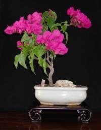 Bouganvilla bonsai