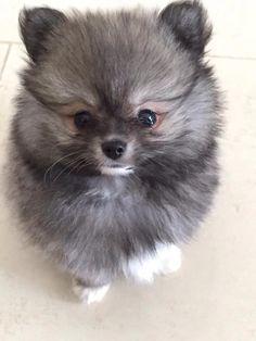 Hey Pomeranian dog, do you want a treat? Hey Pomeranian dog, do you want a treat? Cute Baby Animals, Animals And Pets, Funny Animals, Cute Puppies, Cute Dogs, Dogs And Puppies, Doggies, Beautiful Dogs, Animals Beautiful