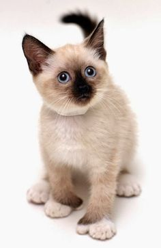 678 Best Siamese Cats Images In 2020 Siamese Cats Cats Siamese