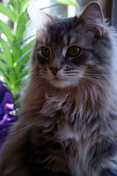 A beautiful double pawed long haired maine coon cat.