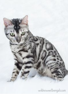 One of our beautiful silver bengal queens at Wild N Sweet Bengals Cattery! More photos of our cats and kittens at www.wildnsweetbengals.com