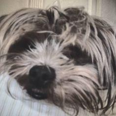 Look at dat smile #sleepypup #cutedogs #cute #dog #yorkie #aww #  by 101sweetie101
