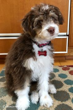 Full Grown Red Tri Aussiedoodle In 2020 Aussiedoodle Cute Dog Pictures Puppy Time