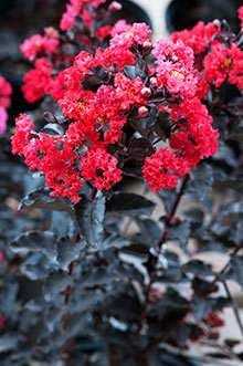 Black Diamond E Myrtle Best Red For Fast Growing Trees Leaves