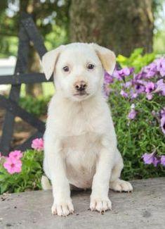 Puppies Under $500 | Lancaster Puppies Morkie Puppies For Sale, Cute Puppies, Australian Shepherd Mix Puppies, Lancaster Puppies, Border Collie, Labrador Retriever, Pets, Animals, Labrador Retrievers