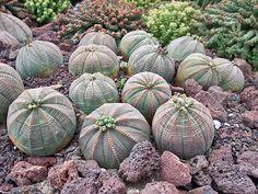 Euphorbia obesa, puedes distinguir a las plantas con flores masculinas y femeninas? Tambien hay una plantula de E obesa!