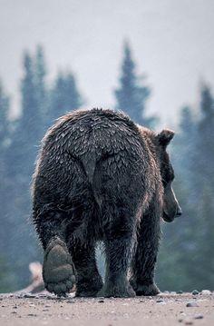 A grizzly bear bum! Nature Animals, Baby Animals, Cute Animals, Wild Animals, Baby Pandas, Primates, Mammals, Beautiful Creatures, Animals Beautiful