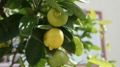 Chcete si vypěstovat vlastní žluťoučký citron?