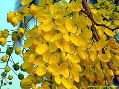 Cassia fistula , conhecida como a árvore chuva de ouro e por outros nomes , é uma planta com flor da família Fabaceae . A espécie é nativa do subcontinente indiano e regiões adjacentes do sudeste da Ásia . Ela é comum desde o sul do Paquistão ao leste ao longo da Índia a Mianmar e Tailândia e sul de Sri Lanka . Está intimamente associada com a paisagem da região do Mullai de Sangam . É a árvore nacional da Tailândia , e sua flor é a flor nacional da Tailândia.