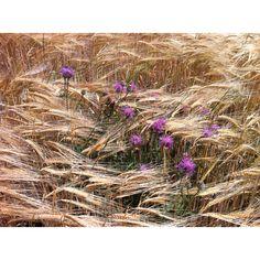 Drôme provençale drome provence blé fleur été http://www.bien-etre-drome.com/