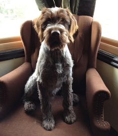 403 Best Wirehaired Pointing Griffon images in 2019   Wirehaired