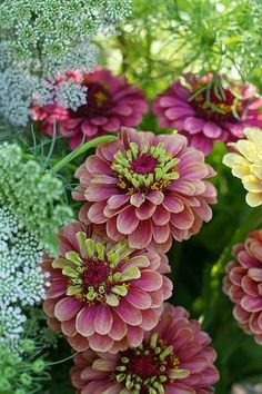 Zinnia Queen Red Lime by Erin Benzakein / Floret Flower Farm on Flickr....