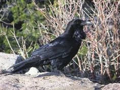 Ravens and crows in Iron Age Britain: the Danebury corvids reconsidered | Dale Serjeantson - Academia.edu // article about the possible significance of raven and crow burials in Iron Age Britain.