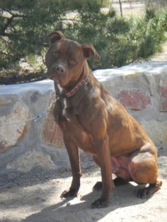Meet Charlie Brown, a Petfinder adoptable Pit Bull Terrier Dog | Chaparrel, NM | What's up?! My name is Charlie! I am a pitbull. I would love to live in a single dog home. I can...