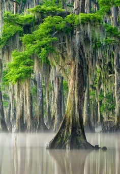 Maurepas Swamp, Louisiana, Cypress Tree with Spanish Moss. David Chauvin Photography This is Very close to my home. Beautiful World, Beautiful Places, Trees Beautiful, Wonderful Places, Flora Und Fauna, Cypress Trees, Cypress Swamp, Spanish Moss, Nature Tree