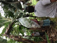 """This is a great picture of some workers harvesting some bananas. During harvest time the bananas trees are cut down and the bananas are caught, comfortably, on a """"banana bed."""""""
