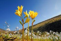 Desierto Florido - Añañucas amarillas