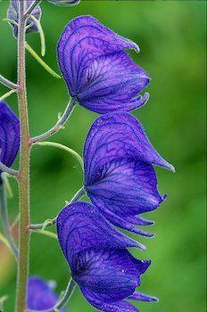 Wild Blue Monkshood Kenai Peninsula Alaska