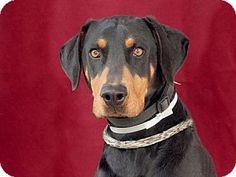 Pasadena, CA - Doberman Pinscher. Meet DAMIAN, a dog for adoption. http://www.adoptapet.com/pet/12426354-pasadena-california-doberman-pinscher
