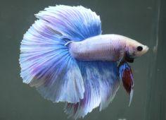 live-Tropical-Fish-Blue-lavender-grizzle-halfmoon-betta-H20