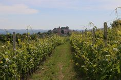 Walking amongst the vines in Piedmont, Northern Italy with a stunning backdrop of a castle in the background.