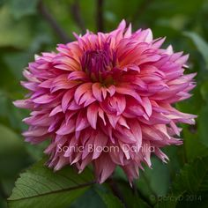 Sonic Bloom Dahlia. This one looked so good echoing a flowering kale