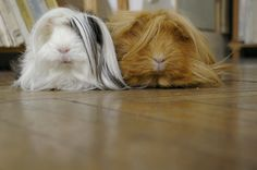 These are not guinea pigs, they are dust collectors (floor cleaners) with little tiny feet!! LOL!!!