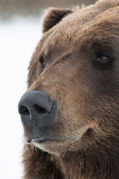 **Joe Boxer, a brown bear at the Alaska Wildlife Conversation Center in Portage, AK