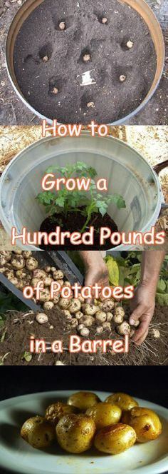 Grow 100 Pounds Of Potatos In A Barrell
