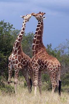Courting Giraffes in the wild (by MAC-Kenya)