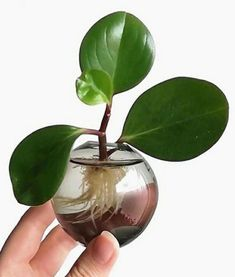 Water Plants, Potted Plants, Indoor Plants, Hanging Plants, Spider Plant Babies, Peperomia Plant, Belle Plante, Inside Plants, D House