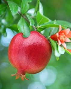 GRANADA. Looking for a delicious way to fight the flu? Pomegranates give your immunity an essential boost!