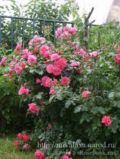 39 dortmund 39 rose photo roses for partial shade. Black Bedroom Furniture Sets. Home Design Ideas
