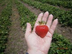 BIO jahody #strawberries #gargening