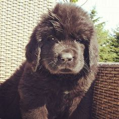Newfoundland Dog Puppy #summertime