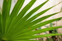 "Washingtonia filifera Latin ""thread-bearing"", common names Desert Fan Palm, American Cotton palm, Arizona Fan Palm - License Botanical Images & Stock Photography  from http://archive.chrisridley.co.uk - This image is Copyright Chris Ridley."