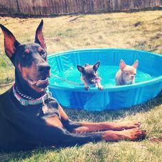 Doberman lifeguard for the chihuahuas