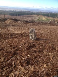 Koala rescued from deforestation in Australia, bleak picture of human greed on the environment Habitat Destruction, Haunting Photos, Environmental Pollution, Earth Photos, Australia, Our Planet, Planet Earth, Photos Du, Koalas