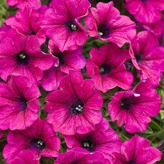 Supertunia® Mini Purple - Petunia hybrid-heat and drought tolerant, attracts butterflies and hummingbirds Petunia Care, Petunia Plant, Petunia Flower, Petunia Tattoo, Trailing Petunias, Happy Tree Friends, Luke Hemmings, Looney Tunes, Gardening
