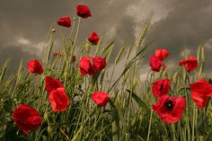 Poppy field before the storm Photograph by Floriana Barbu - Poppy field before the storm Fine Art Prints and Posters for Sale