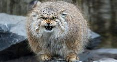 The most expressive cat known as the Manul cat breeds are a threatened wild species that can be found in the grasslands of montane steppes of Central Asia. Big Cats, Cats And Kittens, Cute Cats, Funny Cats, Felis Manul, Wild Cat Species, Animals And Pets, Cute Animals, Pallas's Cat