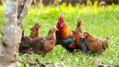 An Introduction To Poultry Plumage