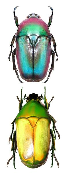 Chlorocala africana, two forms.