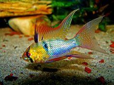 "Microgeophagus ramirezi (German Blue Ram)- ~3"" Venezuelan cichlid. long finned / veiled variety pictured"