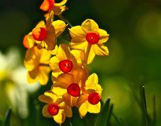 Daffodil Daydreams @ Filoli Garden   Flickr - Photo Sharing!