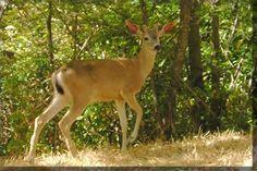 Columbian Black Tailed Deer Naselle, WA Family reunion trip July 2013