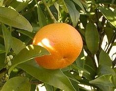 Aceite Esencial de Mandarina-Citrus reticulata Citrus Trees, Real Pearls, Natural Essential Oils, The Republic, Croatia, Conditioner, Mandarin Oranges, Fruit Salads, How To Make