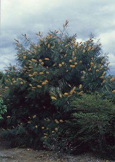 Grevillea Honey Gem by Westflora, via Flickr