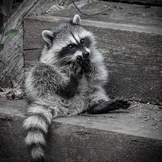 Raccoon <3 So adorable! #animal #cute